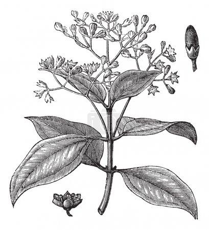 Cinnamomum verum or True cinnamon vintage engraving