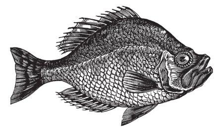 Ilustración de Centrarchus aeneus o rock bass pescado vintage grabado. antiguo grabado ilustración de centrarchus aeneus. - Imagen libre de derechos