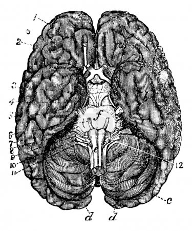 Illustration for Human brain vintage engraving. Old engraved illustration of human brain parts numbered. - Royalty Free Image