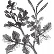 Greater Celandine or Tetterwort or Bloodroot or Ch...