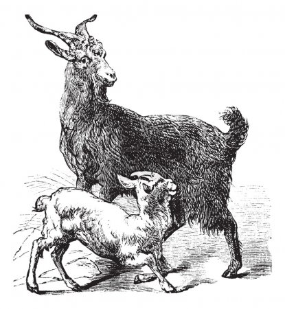 Domestic Goat vintage engraving