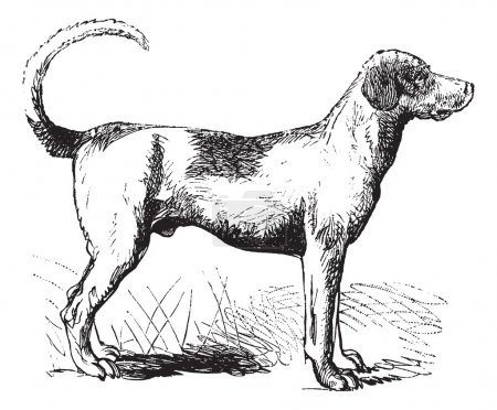 Foxhound vintage engraving