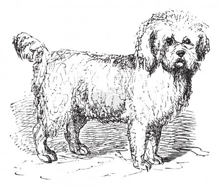 Barbet or Canis lupus familiaris vintage engraving