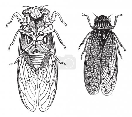 Illustration for Cicada or Cicadidae or Tettigarctidae, vintage engraving. Old engraved illustration of Cicadas. - Royalty Free Image