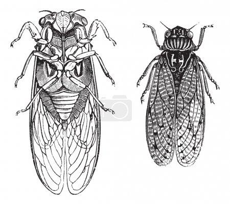 Illustration pour Cicada ou Cicadidae ou Tettigarctidae, gravure vintage. Ancienne illustration gravée de Cicadas. - image libre de droit