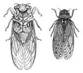 Cicada or Cicadidae or Tettigarctidae vintage engraving Old engraved illustration of Cicadas