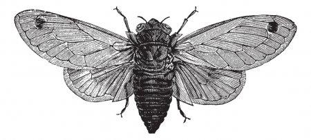 Illustration pour Cicada ou Magicicada sp., dix-sept ans, gravure vintage. Ancienne illustration gravée d'une Cicada de dix-sept ans . - image libre de droit