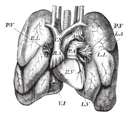 Illustration for Human Heart and Lungs, vintage engraving. Old engraved illustration of the Human Heart and Lungs. - Royalty Free Image