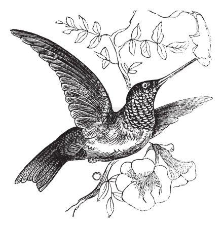 Illustration pour Colibri à gorge rubis ou Archilochus colubris, gravure vintage. Ancienne illustration gravée d'un Colibri à gorge rubis. - image libre de droit