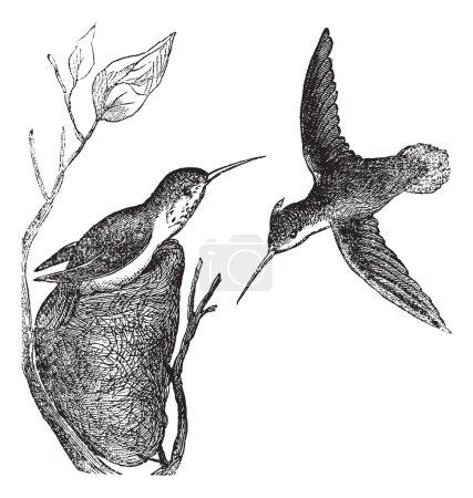 Rufous Hummingbird or Selasphorus rufus vintage engraving