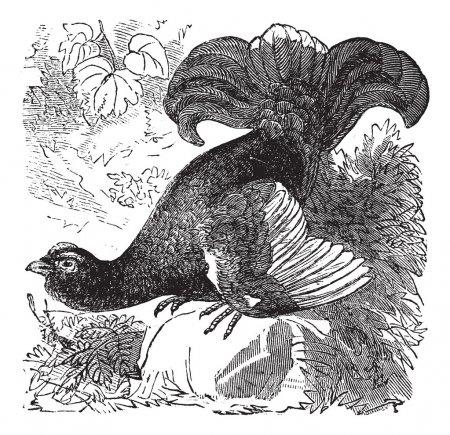 Black Grouse or Blackgame or Tetrao tetrix vintage engraving