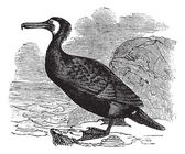 Great Cormorant or Great Black Cormorant or Black Cormorant or B