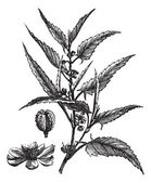 Jute or Corchorus capsularis or Corchorus olitorius vintage engraving Old engraved illustration of a Jute showing flowers