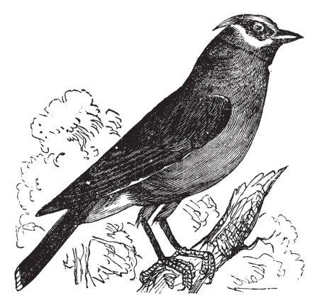 Cedar Waxwing or Bombycilla cedrorum vintage engraving