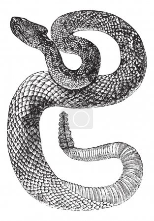 South American Rattlesnake or Tropical Rattlesnake or Crotalus d