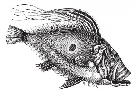 Illustration for John Dory or Saint Pierre Fish or Saint Peter Fish or Zeus faber, vintage engraving. Old engraved illustration of a John Dory fish. - Royalty Free Image