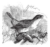 Red-backed Shrike or Lanius collurio, vintage engraving