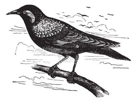 Common Starling or European Starling or Sturnus vulgaris, vintag
