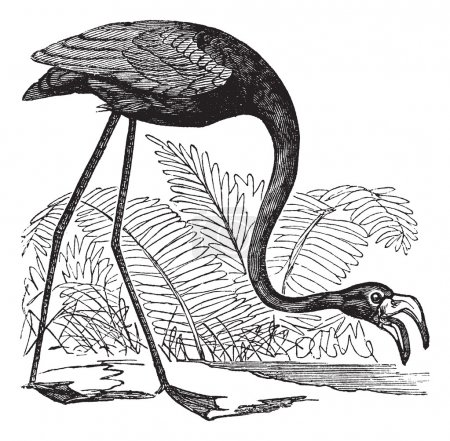 Illustration for Common Flamingo or Phoenicopterus sp. or Phoenicoparrus sp., vintage engraving. Old engraved illustration of a Common Flamingo. - Royalty Free Image