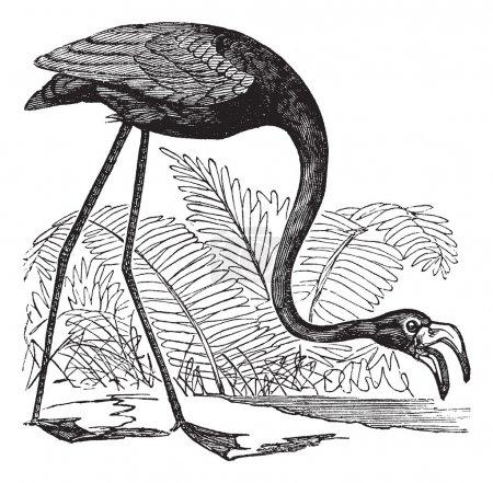 Common Flamingo or Phoenicopterus sp. or Phoenicoparrus sp., vin