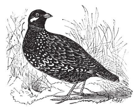Black Francolin or Francolinus francolinus, gamebird, vintage e