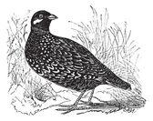 Black Francolin or Francolinus francolinus gamebird vintage e