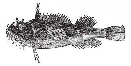 Common sea raven (Hemitripterus acadianus) vintage engraving
