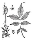 Leaf base stem and flower of hickory vintage engraving