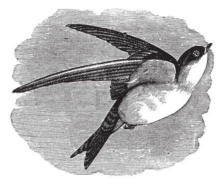 Common House Martin or Delichon urbicum vintage engraving