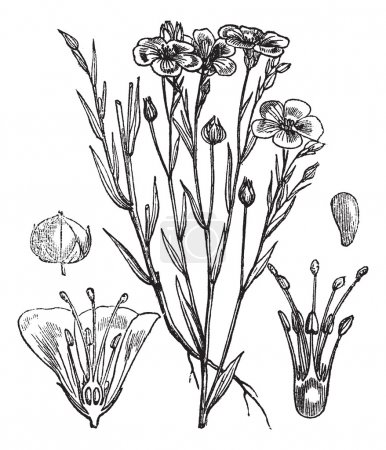 Illustration for Common flax or Linseed or Linum usitatissimum vintage engraved illustration. Trousset encyclopedia (1886 - 1891). - Royalty Free Image