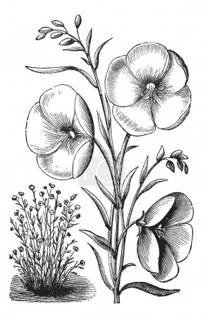 Illustration for Linum grandiflorum or Red flax or scarlet flax or crimson flax vintage engraved illustration. Trousset encyclopedia (1886 - 1891). - Royalty Free Image