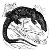 Nile monitor (Varanus niloticus) or Water Leguaan or River Leguaan vintage engraved illustration Trousset encyclopedia (1886 - 1891)