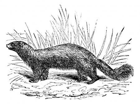 Common skunk (Mephitis mephitica) or polecats vintage engraving