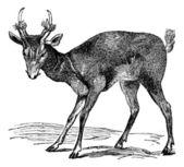 Common muntjac (cervulus vaginalis) or Barking deer, vintage eng