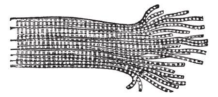 Human Muscle Fiber, vintage engraved illustration