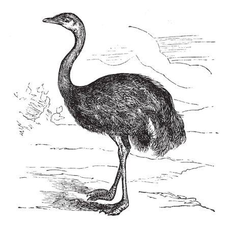 Common Rhea or Rhea americana, vintage engraved illustration