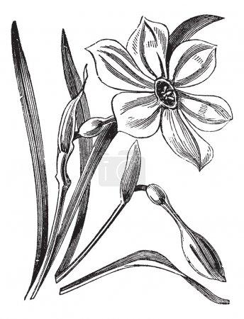 Illustration pour Poète's Daffodil or Narcisse poeticus, illustration gravée vintage. encyclopédie Trousset (1886 - 1891). - image libre de droit