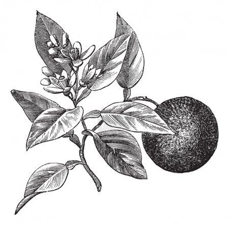 Illustration pour Orangé doux ou Citrus aurantium, isolé sur blanc, illustration gravée vintage. encyclopédie Trousset (1886 - 1891 ). - image libre de droit