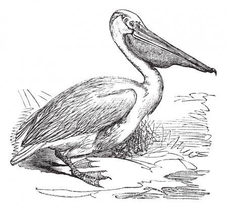 Great White Pelican or Eastern White Pelican or Pelecanus onocro