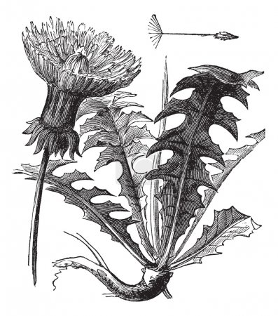 Illustration for Taraxacum or Dandelion, vintage engraved illustration. Dandelion with leaves on white background. Trousset encyclopedia (1886 - 1891). - Royalty Free Image