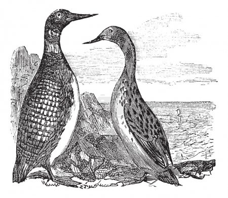 Great Northern Loon or Great Northern Diver or Common Loon or Ga