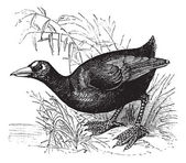 American Coot or Fulica americana vintage engraving