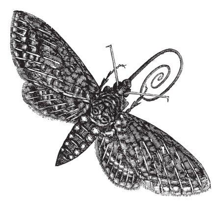 Hawk-Moth or Sphinx quinquemaculatus vintage engraving