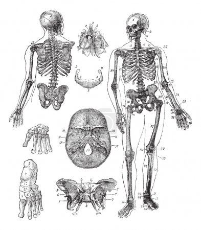Illustration for Human skeleton, vintage engraving. Old engraved illustration of Human skeleton from front and back with its functioning parts and their names. - Royalty Free Image