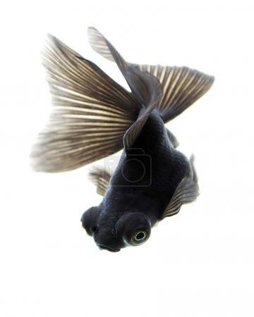 Black Gold Fish on White