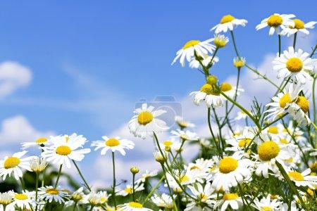 Foto de Margaritas blancas sobre cielo azul con nubes - Imagen libre de derechos