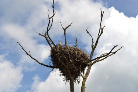 Nest of white storks.