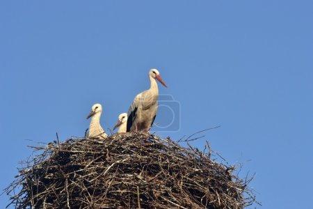 White stork with baby birds.