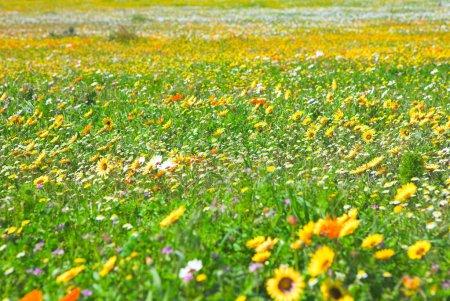 Foto de Cultivo de flores silvestres primaverales en el Parque Nacional de la Costa Oeste, Sudáfrica. - Imagen libre de derechos