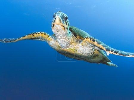 Photo pour Tortue de mer sur fond bleu - image libre de droit
